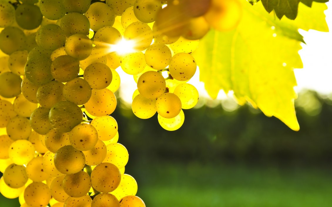Wine 3d Wallpaper Beautiful Golden Grapes In The Light Of Autumn Sun