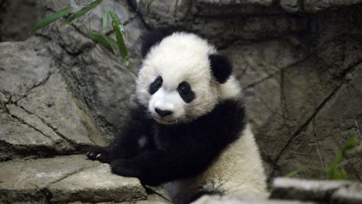 EEUU Bei Bei el beb panda gigante se presenta en