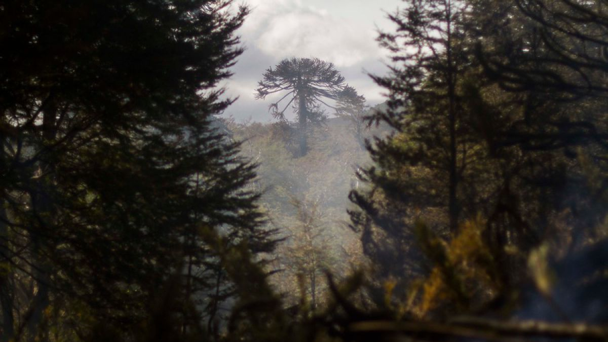 Las Araucarias los bosques ms antiguos del planeta en