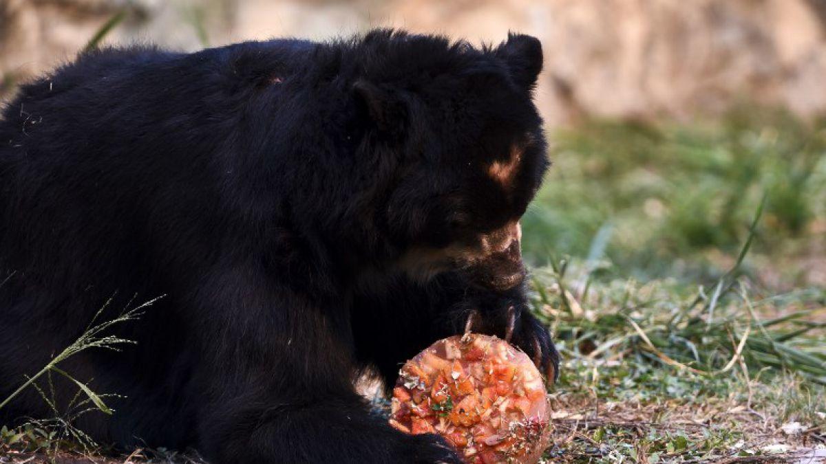 Justicia colombiana le concede la libertad a un oso de