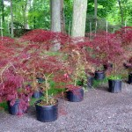Pruning And Grooming The Japanese Maples The Martha Stewart Blog