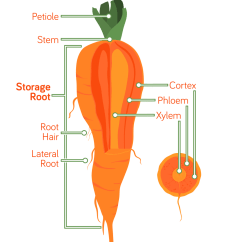 Carrot Plant Diagram Cam Sensor Wiring Anatomy Related Keywords Long Tail