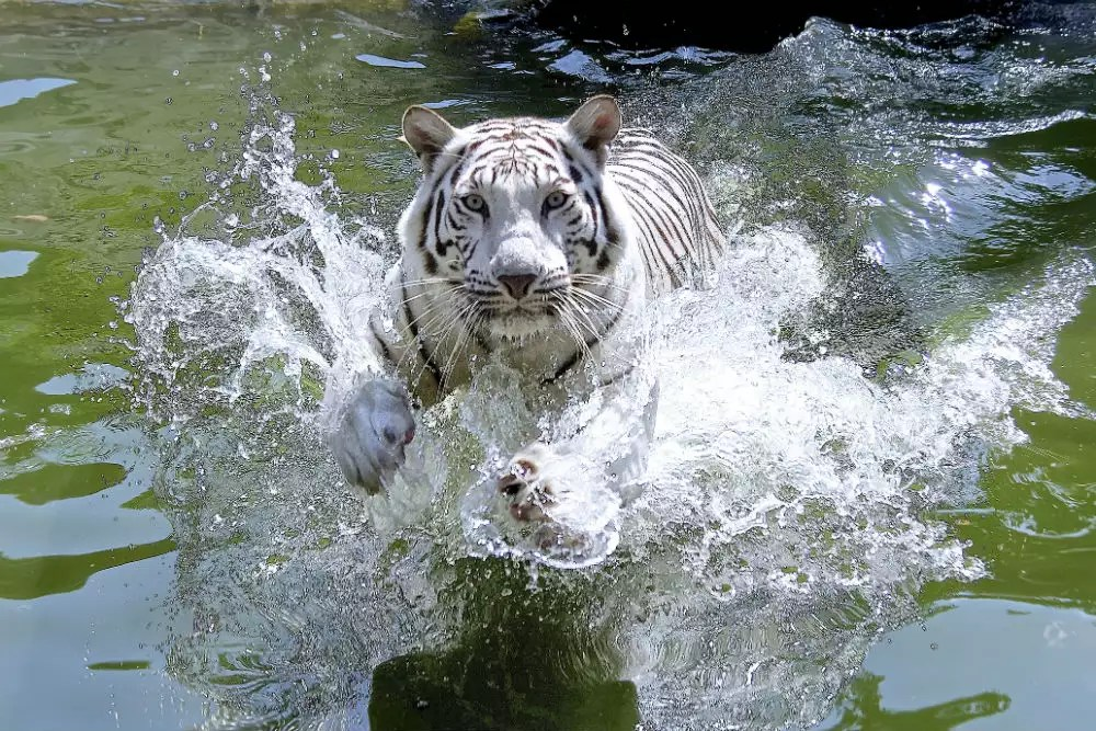 Madhya Pradesh World S First White Tiger Safari Opens In Madhya Pradesh Times Of India Travel