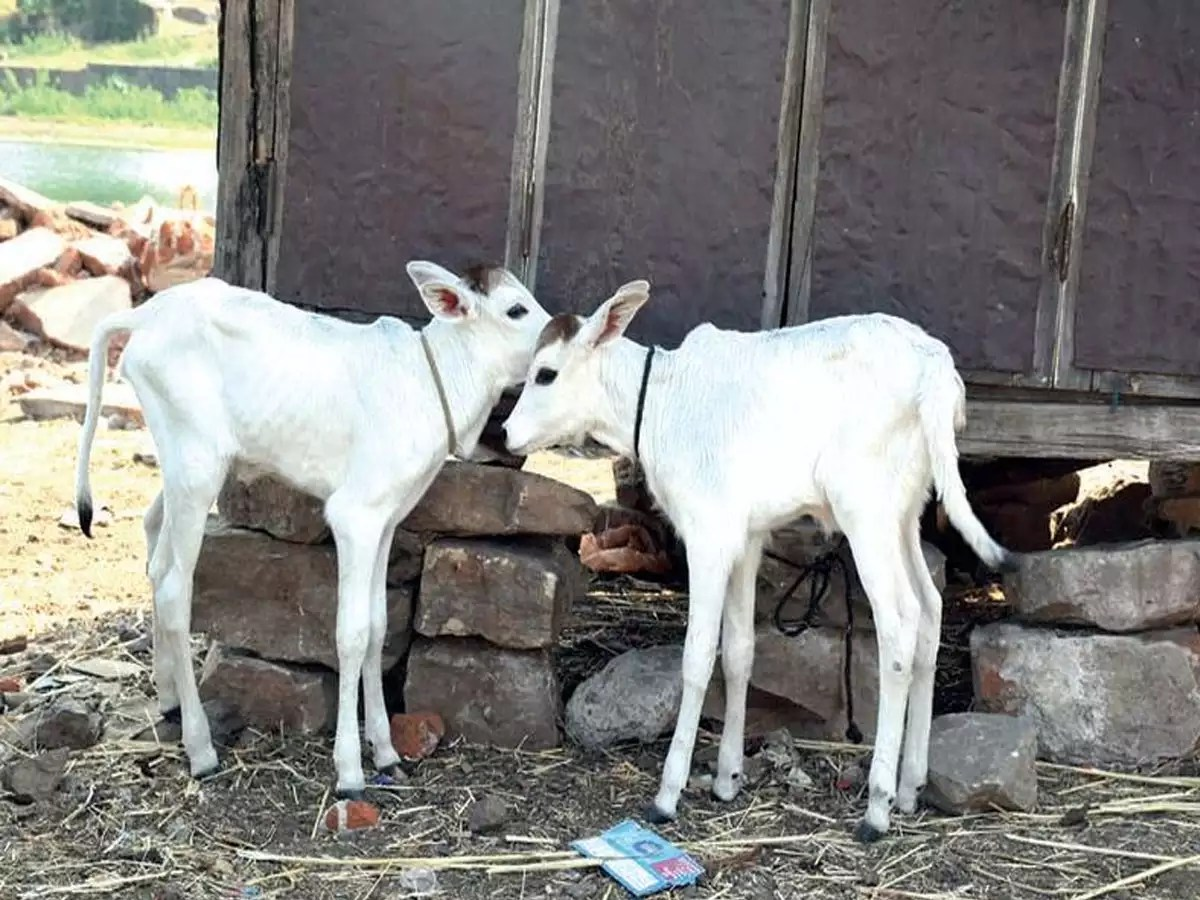 dagri cow becomes fourth
