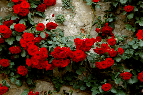 tumblr photography red roses