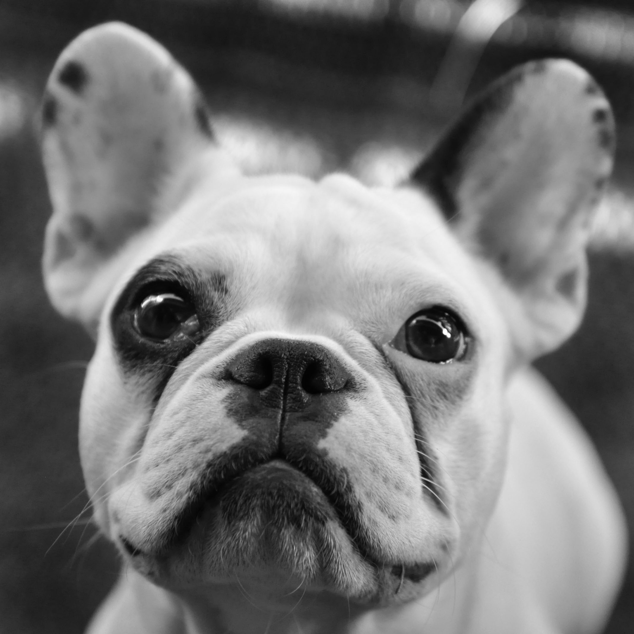 J.J. the Frenchie! Frenchies Pinterest Bulldogs