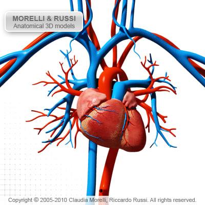Fall Wallpaper 4d Morelli Circulatory Heart 3d Model