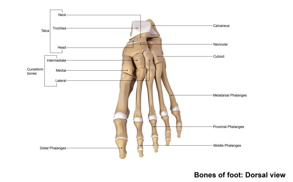 medium resolution of human foot bone diagram