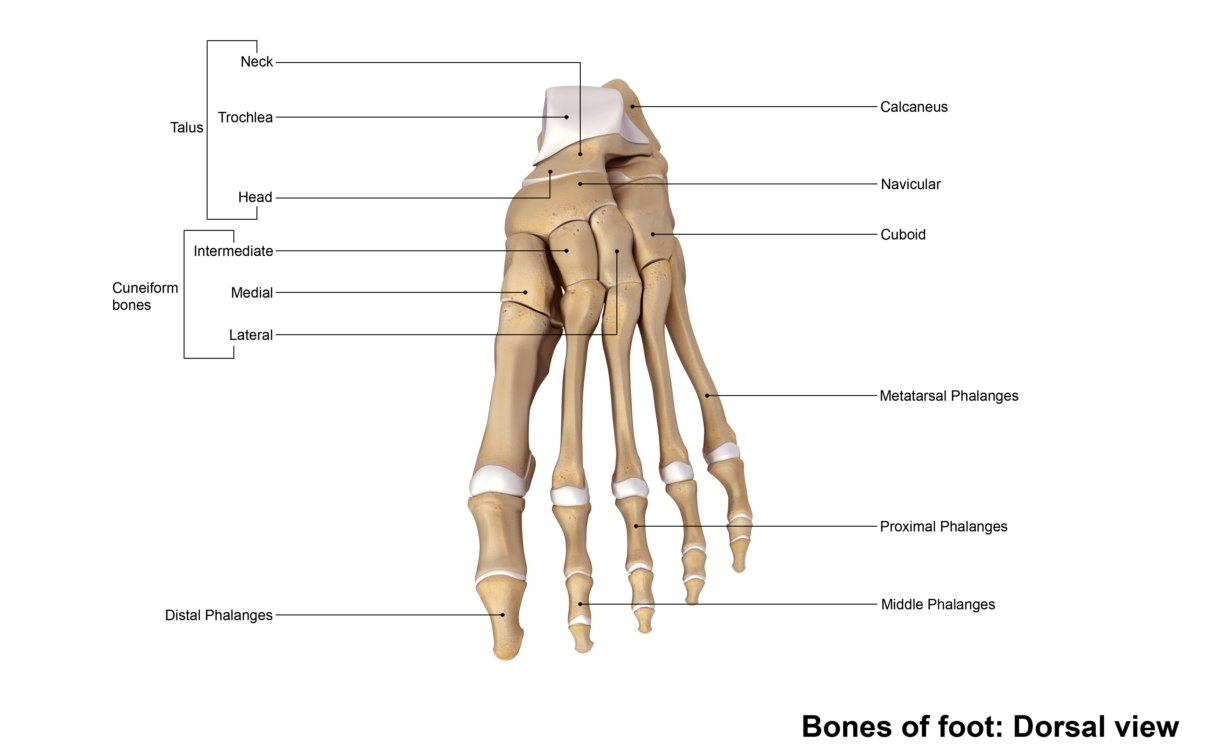 hight resolution of human foot bone diagram
