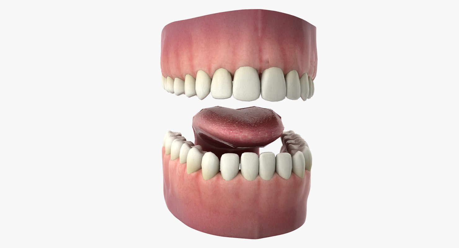 hight resolution of 3d rigged human mouth teeth model