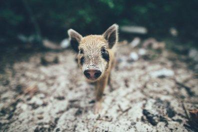 Swimming Pigs Bahamas