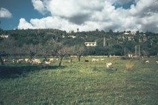 Mallorca Mandelblüte