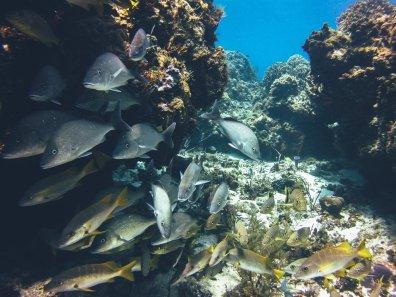 Rifffische