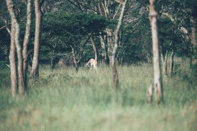Giraffe im Mburo Nationalpark