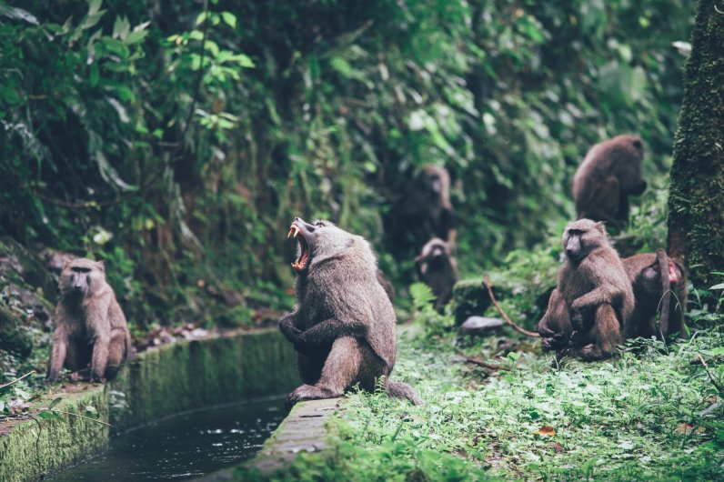 Paviane im Bwindi Nationalpark