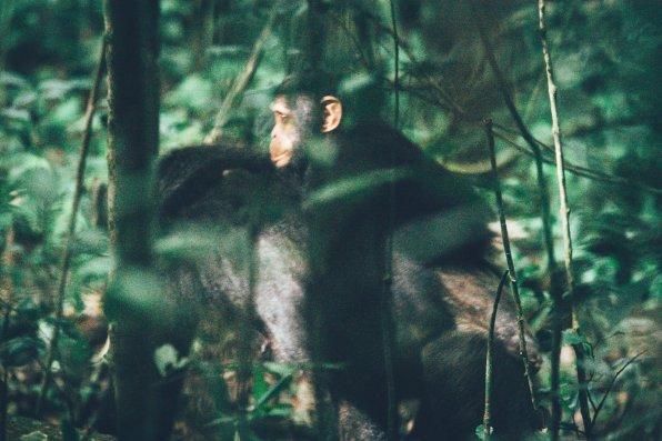 sSChimpansen-Trekking im Kibale Nationalpark
