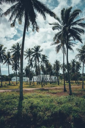 Aitutaki Palmen