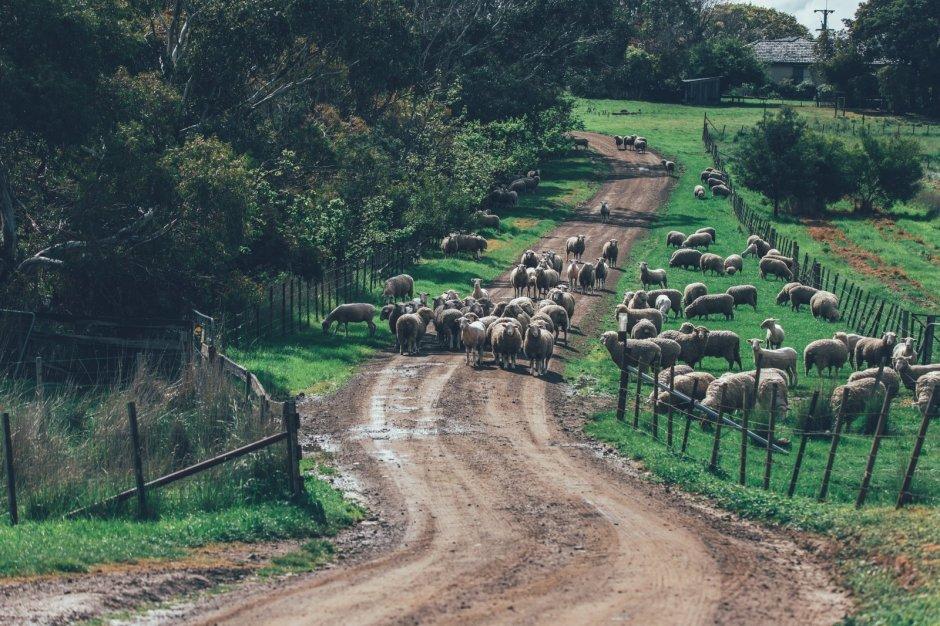 Tasmanien, das Land der Schafe