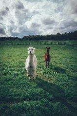 Alpakas, Schafe und Hühner freuen sich auf die Fütterung