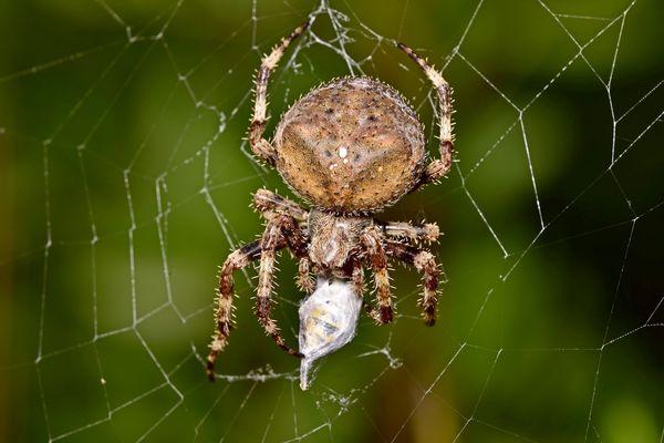 spanish spider