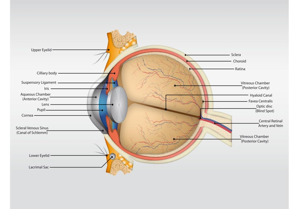 medium resolution of human eye diagram without label