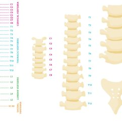 Turtle Anatomy Diagram Brake Light Wiring Toyota 4runner Vertebral Column Vector - Download Free Art, Stock Graphics & Images