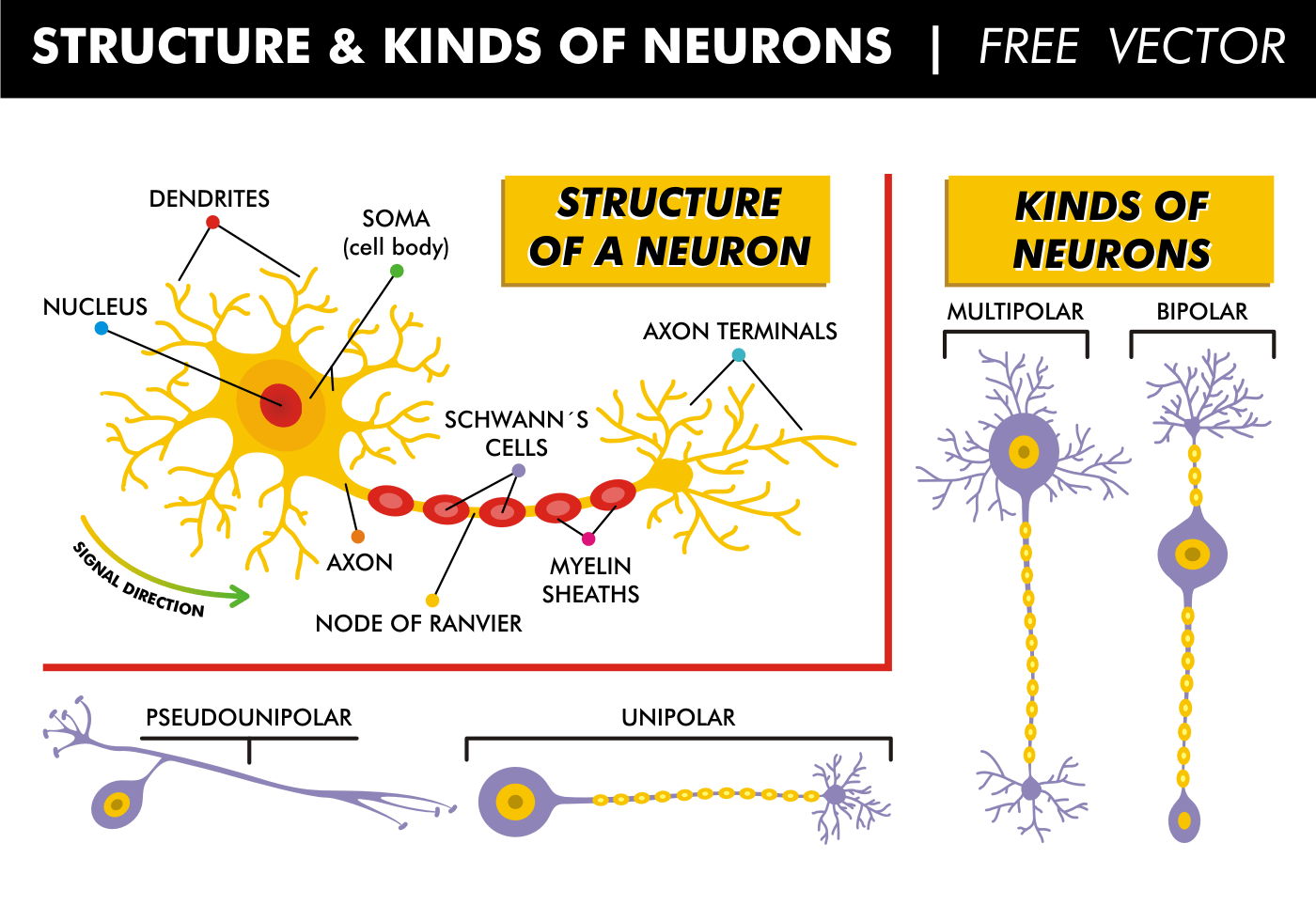 Structure Amp Kinds Of Neurons Free Vector