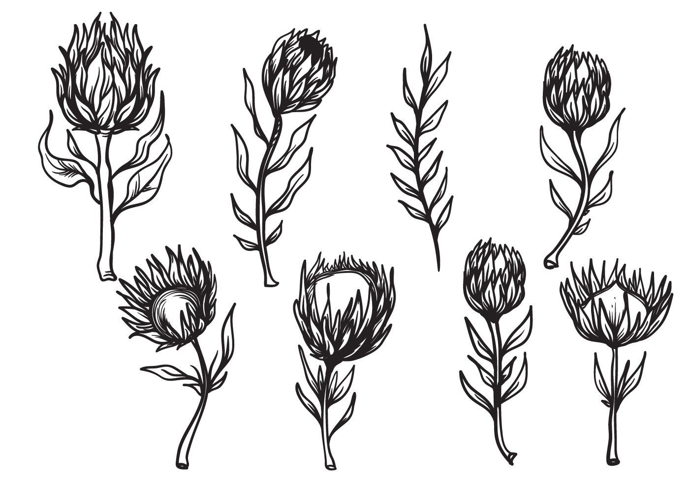 Free Hand Drawn Protea Flower Vector