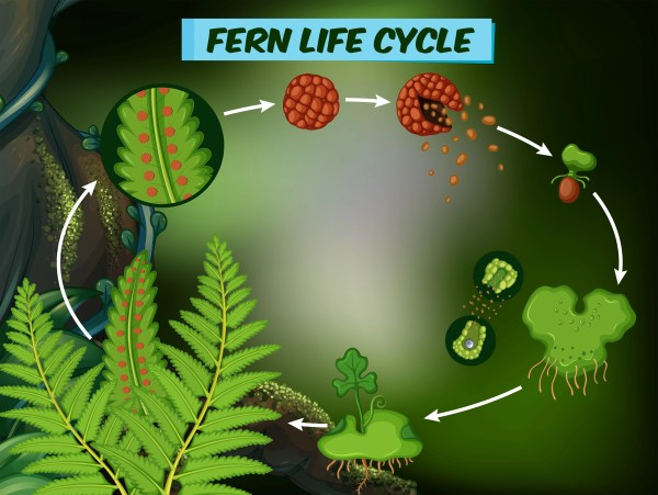 Diagram Showing Fern Life Cycle - Free Vector Art