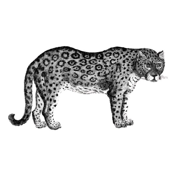 Illustration Of Leopard And Panther - Free Vector