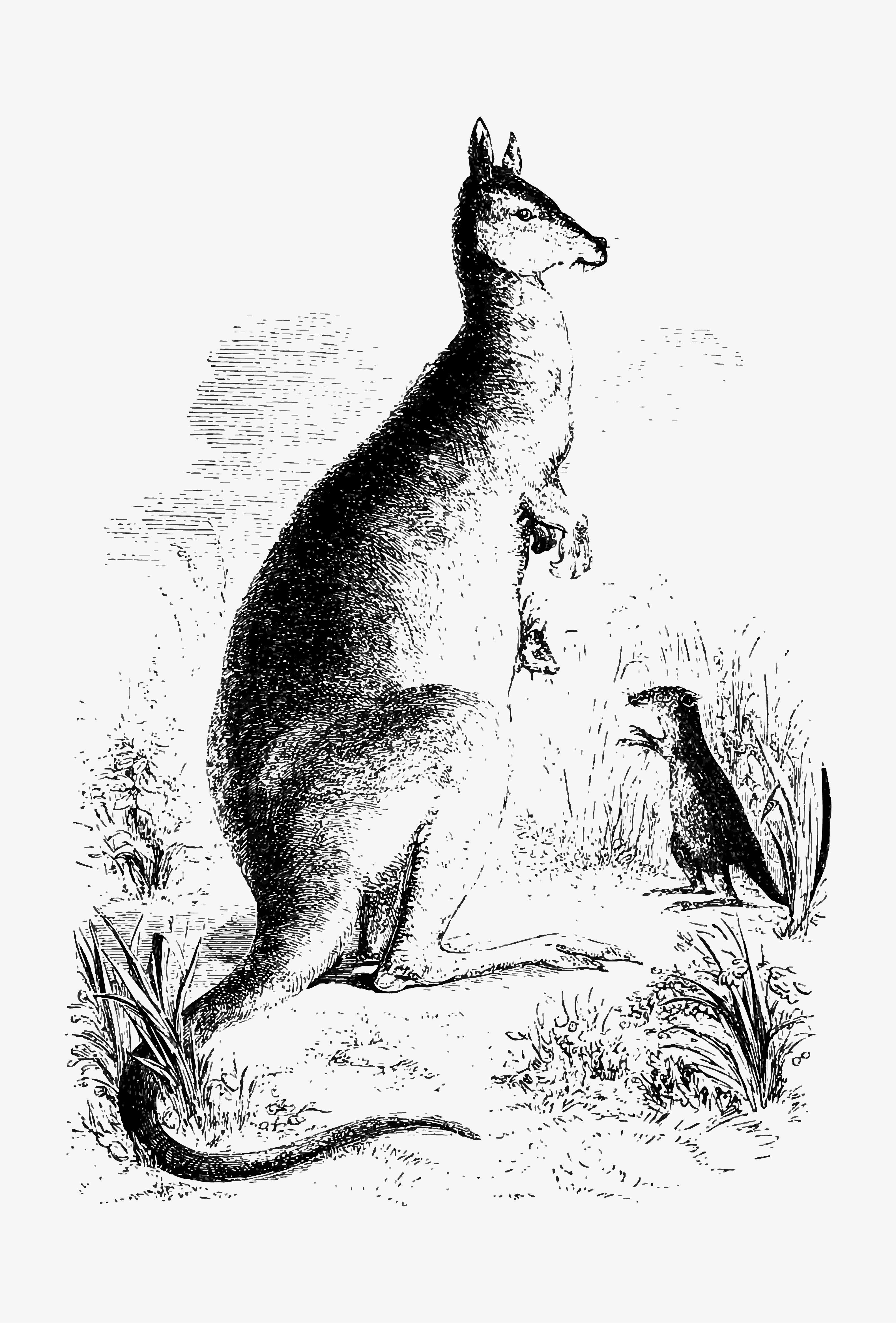 Kangaroo Shade Drawing