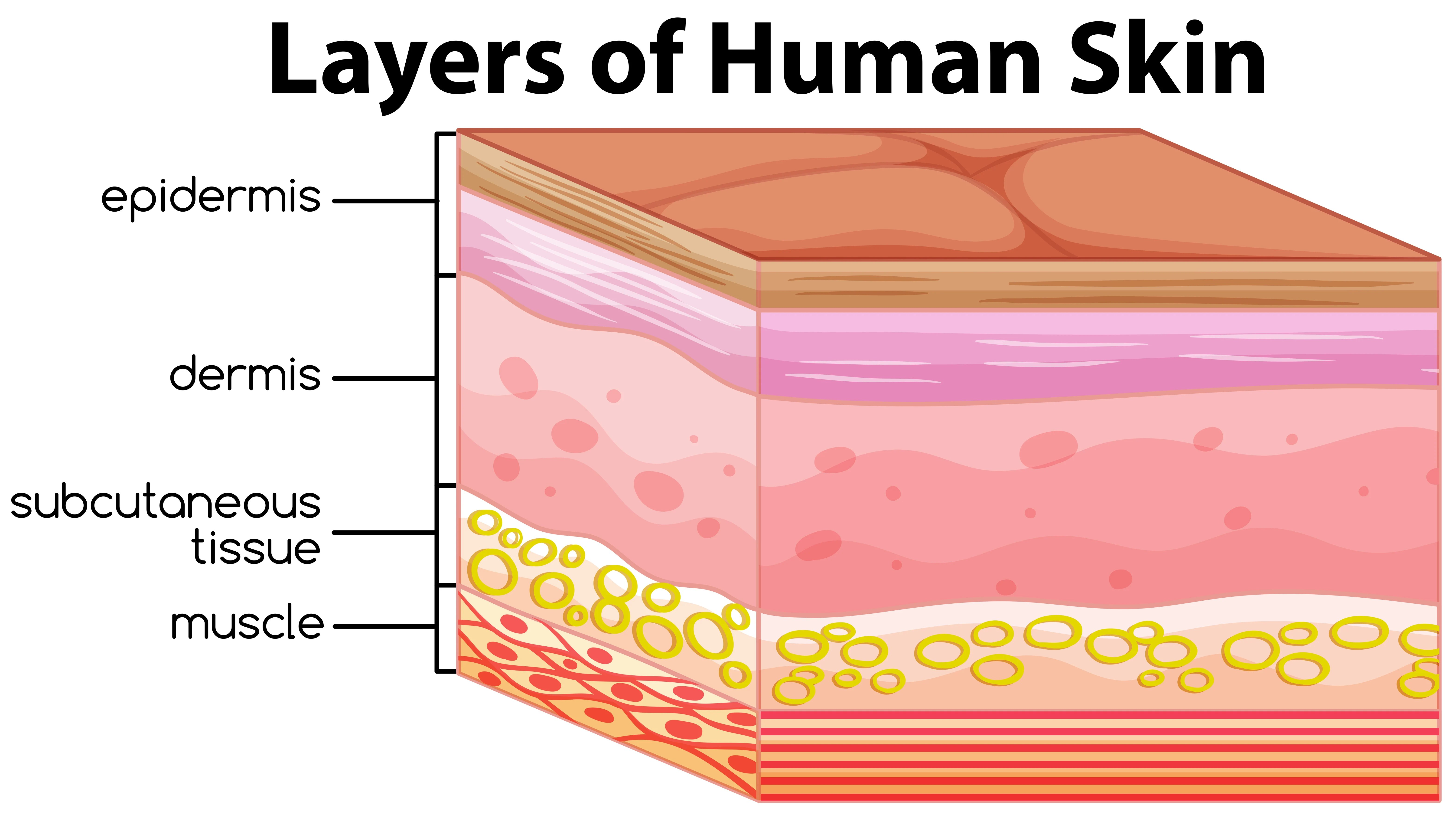 Layers Of Human Skin Concept