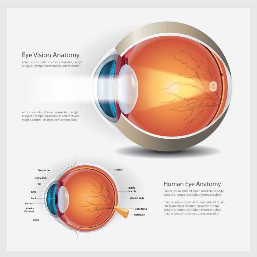 Human Eye Anatomy and Normal Lens Vector Illustration ...