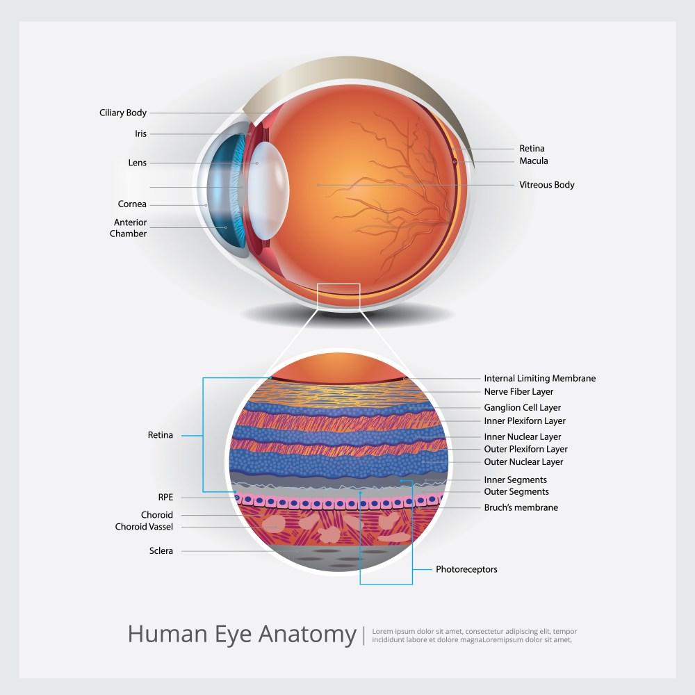 medium resolution of human eye anatomy vector illustration