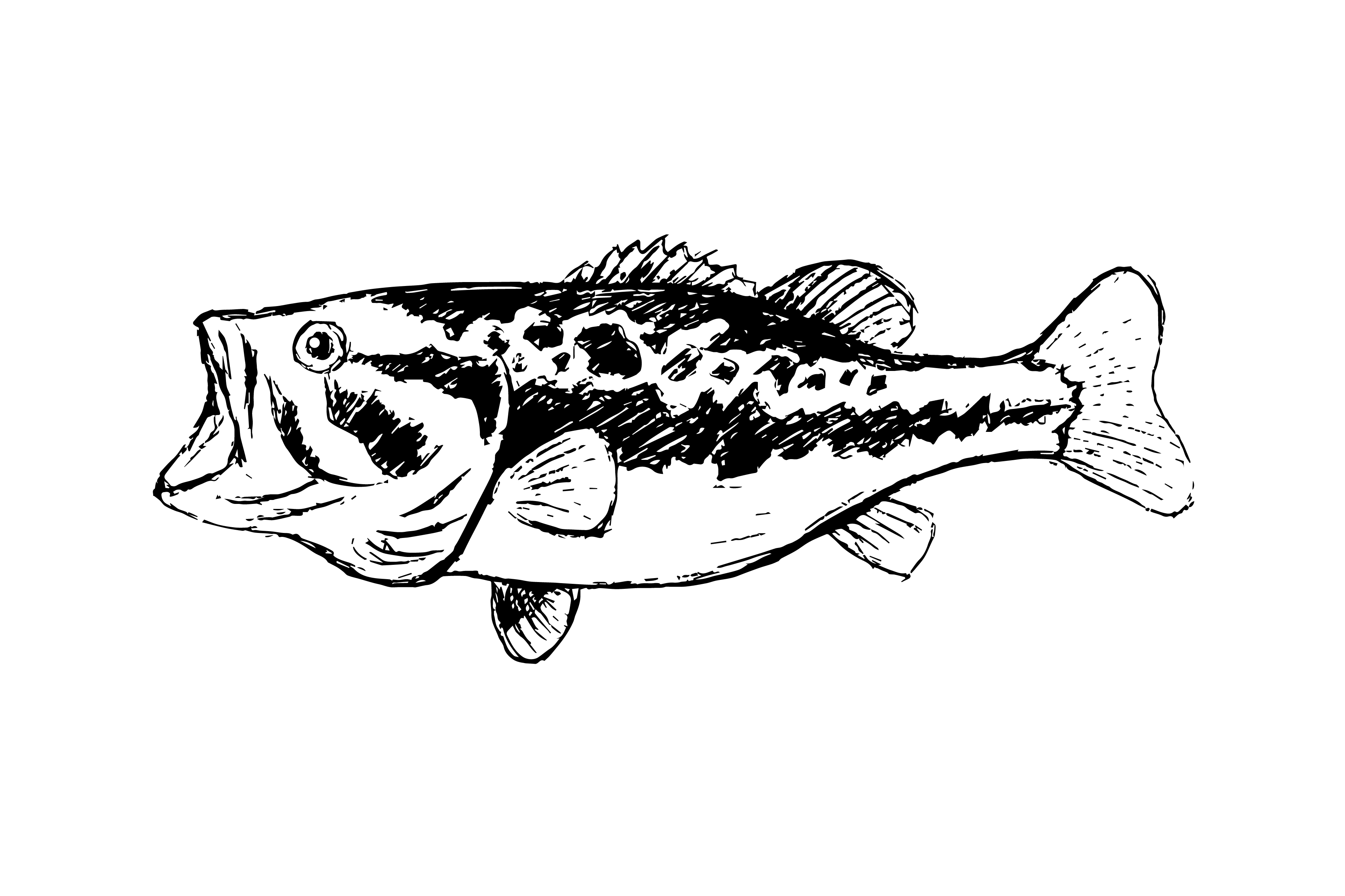 Bass Fish Line Drawing Style On White Background Download Free Vectors Clipart Graphics Vector Art