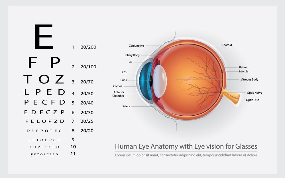 medium resolution of human eye anatomy with eye vision for glasses vector illustration
