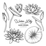 Lily Free Vector Art 52 353 Free Downloads