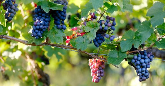 Learn About Pinot Noir | Wine 101