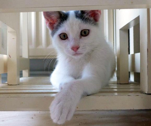 alicio chaton blanc et gris chaton a