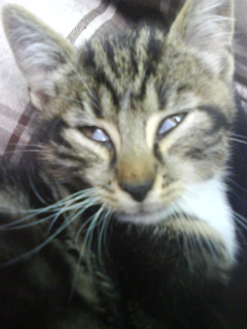 mon chat a un voile blanc sur l oeil