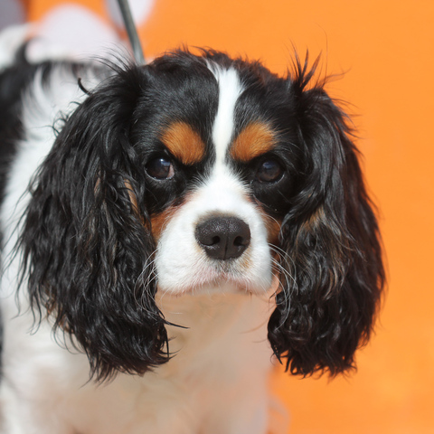 Lucky  chiot cavalier king charles  adopter dans la rgion Ile de France