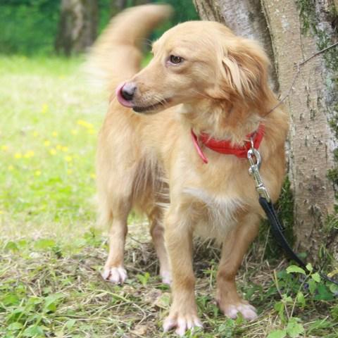 Scarlett  chien crois teckel epagneul papillon  adopter dans la rgion Ile de France