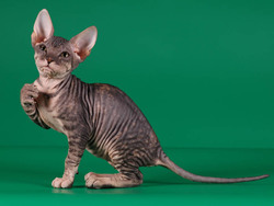 chat sphynx chat et chaton chat nu wamiz