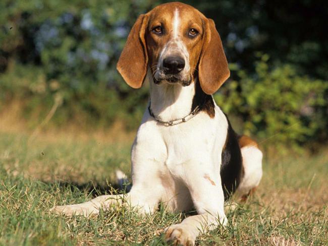 Vidos AngloFranais de petite vnerie chiens de race
