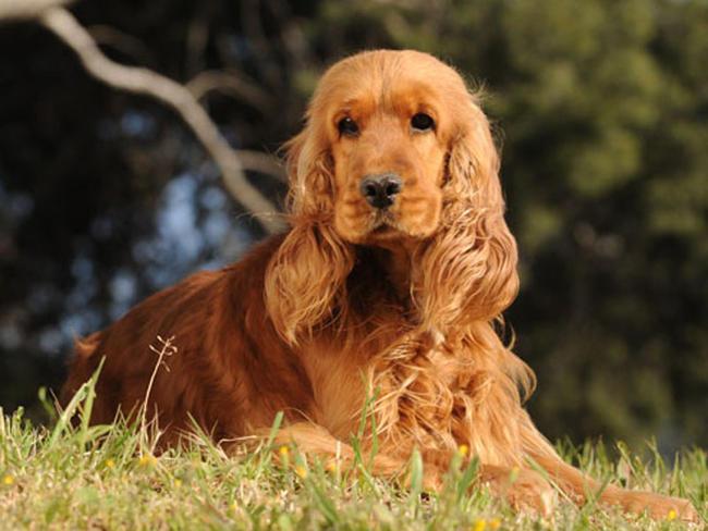 Photos Cocker anglais chiens de race Cocker anglais en