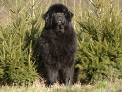 TerreNeuve  chien et chiot Newfoundland Dog Newfie Chien de Terre Neuve  Wamiz