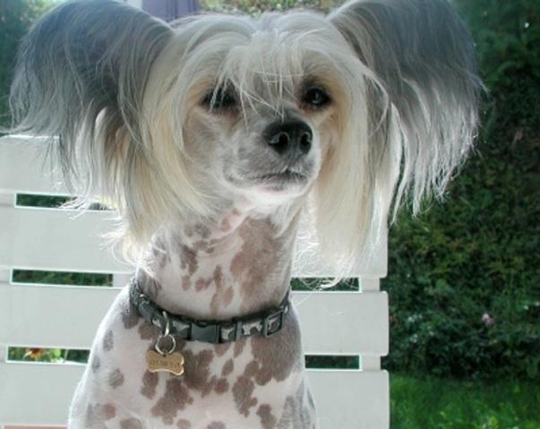 Qui a deja eu un chien chinois nu  crete  Forum Chiens  Chien chinois  crte  Page 2  Wamiz