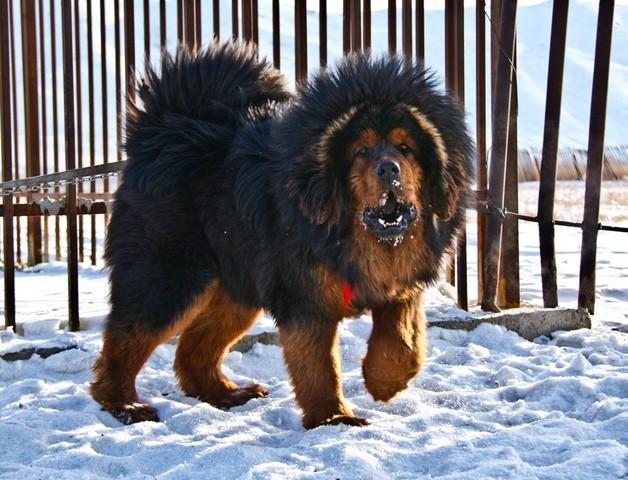 mastiff du tibet