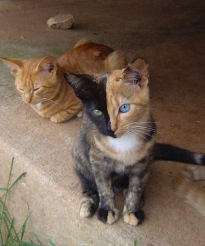 Vénus, chat chimère