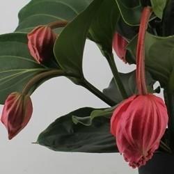 Medinilla verzorging  123kamerplanten
